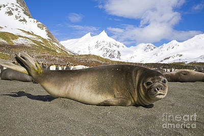 Penguin Photograph - S Elephant Seal Pups And King Penguins by