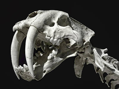 Saber-toothed Tiger Skull Original by Daniel Hagerman
