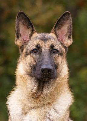 Sable German Shepherd Dog Print by Sandy Keeton