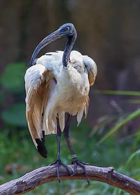 Stork Digital Art - Sacred Ibis by Bill Tiepelman