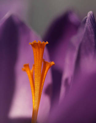 Spring Bulbs Photograph - Saffron - Centre Stage by Connie Handscomb