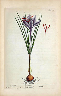Saffron Plant Print by National Library Of Medicine