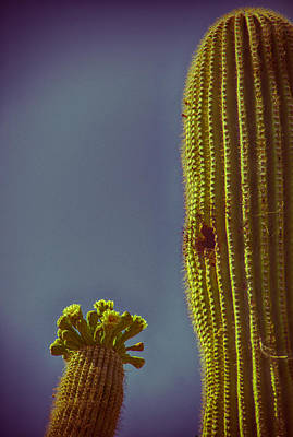 Saguaro In Bloom V2 Print by Judi FitzPatrick