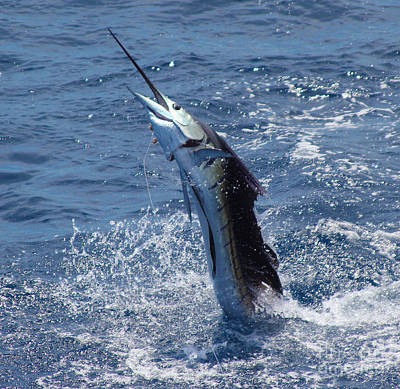 Swordfish Photograph - Sailfish Release by Carey Chen