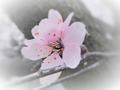 Fading Dream Photograph - Sakura Blossom by Marianna Mills