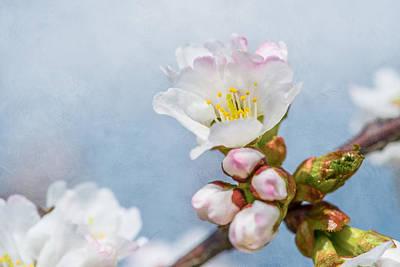 Sakura - Japanese Cherry Blossom Print by Alexander Senin