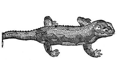 Salamanders Painting - Salamander by Granger