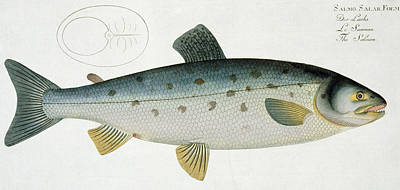 Angling Drawing - Salmon by Andreas Ludwig Kruger