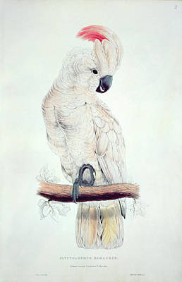 Salmon Crested Cockatoo Print by Edward Lear