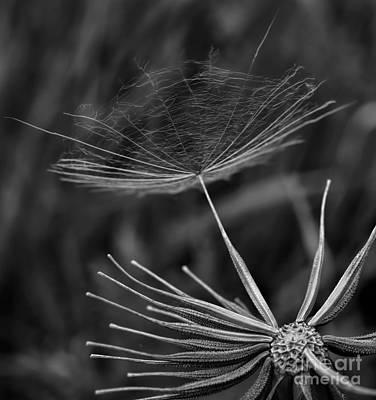 Fine Thread Photograph - Salsify - Wildflower - Seed by Henry Kowalski