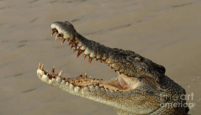 Crocodile Photograph - Salt Water Crocodile 1 by Bob Christopher