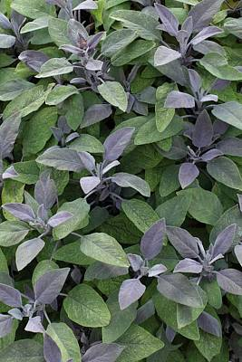 Salvia Photograph - Salvia Officinalis 'purpurascens' by Geoff Kidd