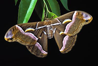 Samia Cynthia Silk Moth Print by Robert Jensen