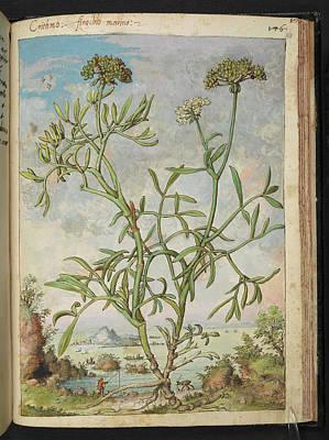 Fennel Photograph - Samphire (crithmum Maritimum) by British Library