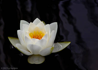San Francisco Water Lily Print by Bruce Lundgren