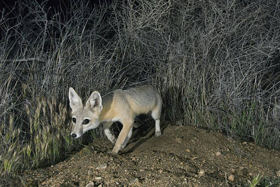 San Joaquin Kit Fox At Night Carrizo Print by Kevin Schafer
