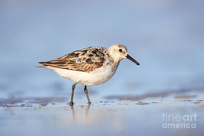 Sanderling Print by Clarence Holmes