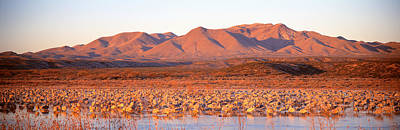 Crane Photograph - Sandhill Crane, Bosque Del Apache, New by Panoramic Images
