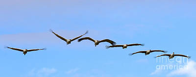 Sandhill Crane Photograph - Sandhill Crane Flight Pattern by Mike Dawson