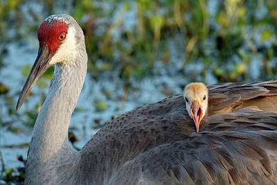 Sandhill Crane On Nest With Baby Print by Maresa Pryor