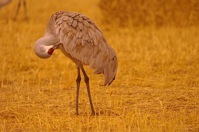 Sandhill Crane Preening Itself Print by Jeff Swan