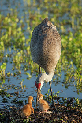 Sandhill Crane Photograph - Sandhill Crane With Both Colts, Grus by Maresa Pryor
