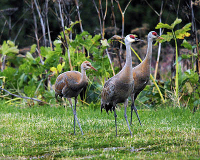 Sandhill Cranes Feeding Behind Wasabi Print by Michel Hersen