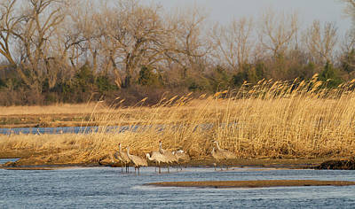 Sandhill Crane Photograph - Sandhill Cranes (grus Canadensis by William Sutton