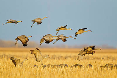 Sandhill Crane Photograph - Sandhill Cranes Land In Corn Fields by Chuck Haney
