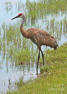 Sandhill Crane Photograph - Sandhill In The Marsh by Carol Groenen