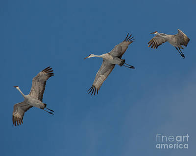 Sandhill Crane Photograph - Sandhill Trio by Flying Turkey