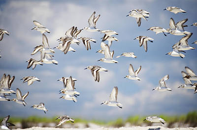 Sandpipers Print by Vicki Jauron