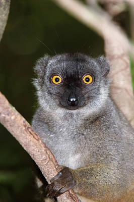 Lemur Photograph - Sanford's Brown Lemur Female by Dr P. Marazzi