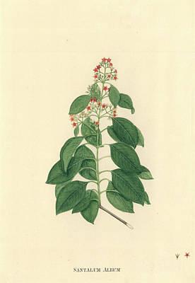 Santalum Album Print by Natural History Museum, London