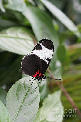 Wildlife Photograph - Sapho Longwing Butterfly by Judy Whitton