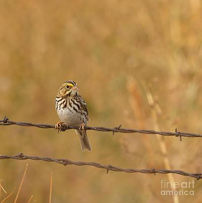 Savanah Sparrow Print by Beve Brown-Clark Photography