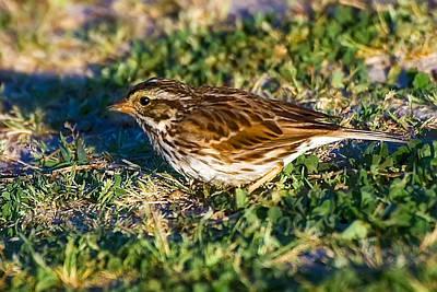 Savannah Sparrow Print by Rich Leighton