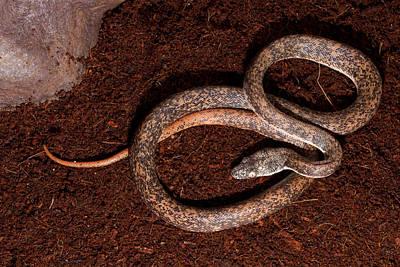 Python Photograph - Savu Python Liasis Mackloti Savuensis by David Kenny