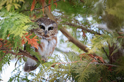 Saw Photograph - Saw-whet Owl by Everet Regal