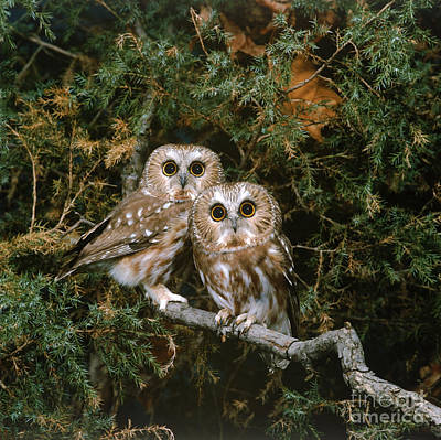 Saw-whet Owls Print by G Ronald Austing
