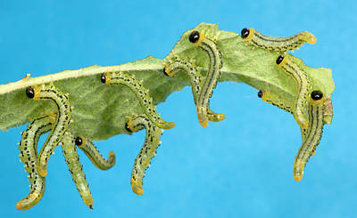 Sawfly Larvae Print by Nigel Downer