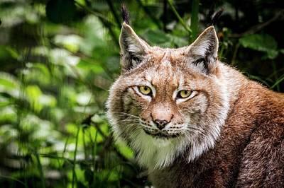 Lynxes Photograph - Scandinavian Lynx by Paul Williams