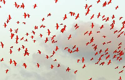 Waterbirds Photograph - Scarlet Ibis Flock by Bob Gibbons