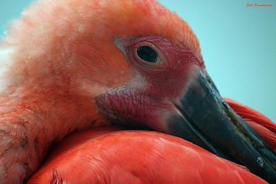 Ibis Digital Art - Scarlet Ibis by Jake Danishevsky