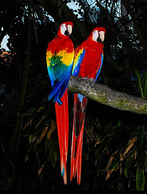 Parrot Photograph - Scarlet Macaws by David Mortenson