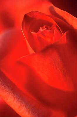 Scarlet Rose Abstract Print by Nigel Downer