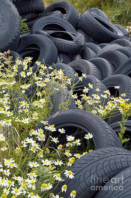 Islay Photograph - Scentless Mayweed And Tires by Duncan Shaw