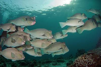 Parrotfish Photograph - School Of Bumphead Parrotfish by Scubazoo