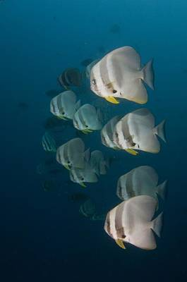 School Of Longfin Spadefish Print by Science Photo Library