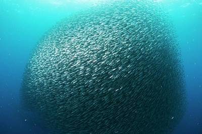 School Of Sardines In The Philippines Print by Scubazoo